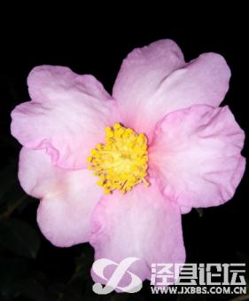 茶梅(花)