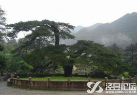九華山鳳凰松